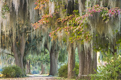 Autumn in the South (Anne Strickland) Tags: spanishmoss liveoaktrees selmaalabama oldoakcemetery
