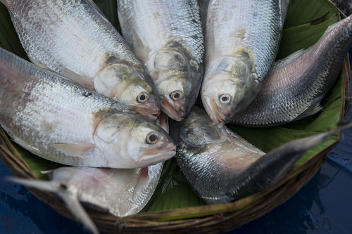 Hilsa fish at a market in Barisal, Bangladesh. Photo by Finn Thilsted, 2012.