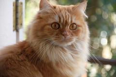 O.O (deadoll) Tags: cats cute love cat canon fur amber ginger furry kat feline chat amor adorable kitty kittens redhead caramel 7d gata felinos felino felines neko katze fofo gatto babys gatti pur ruiva gingercat gatas tigrado caramelo gatotigrado canon7d