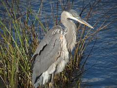 Grand Hron - Great blue Heron. 20 Oct 2012 - 143 (Diane G....) Tags: heron greatblueheron hron coth grandhron supershot avianexcellence damniwishidtakenthat coth5 thesunshinegroup