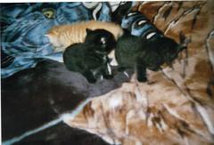 Caro avec ses 2 soeurs (chanelchat Rachel) Tags: cats sisters cat kittens caro blanket carocolourredcolour