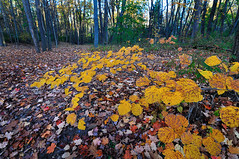 yellow (Mustekala5) Tags: trees color nature leaves yellow forest landscape ma florence nikon tokina 1224mm d5000