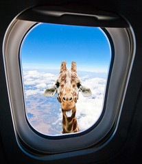 PLTTTHH!!! (Buck Forester) Tags: window animals tongue funny humor airline giraffe airliner stickingouttongue funnyanimals passengerjet animalhumor funnygiraffe giraffestickingouttongue giraffeairlinewindow giraffehumor giraffelookingthroughairplanewindow plltth animalstickingtongueout animalstickingouttongue