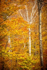 Birches in the Fall 3582 (Ken Brodeur) Tags: autumn trees ny mountains color leaves vertical forest landscape outdoors morninglight photo woods vermont adirondacks fallfoliage photograph vista vt birchtree fineartphotography greenmountains mapletrees adirondackmountains