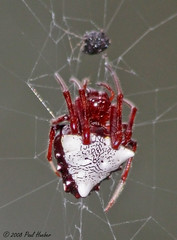 Arrowhead Spider (Verrucosa arenata) aka Triangle Orbweaver (Paul Hueber) Tags: nature animal animals bug spider triangle florida spiders wildlife arachnid bugs handheld arachnids arrowhead arthropods animalia arthropoda arachnida orbweaver arthropod seminolecounty altamontesprings araneae centralflorida verrucosa orbweavers araneidae chelicerata araneomorphae arenata chelicerate lakelotus arrowheadspider verrucosaarenata lakelotuspark entelegynes chelicerates arachtober triangleorbweaver taxonomy:binomial=verrucosaarenata