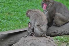 Rotgesichtsmakaken im Parc zoologique de Jurques (Ulli J.) Tags: france zoo frankreich calvados japanesemacaque bassenormandie jurques japanmakak rotgesichtsmakak schneeaffe macaquejaponais