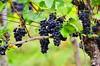 Baden-Baden, les vignes 2 (paspog) Tags: germany deutschland badenbaden vignes allemagne raisin