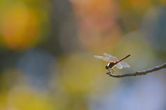 赤トンボ (myu-myu) Tags: autumn nature japan insect nikon dragonfly bokeh explore d800 トンボ 昆虫 explorefrontpage 赤トンボ ナツアカネ sympetrumdarwinianum aiafsnikkor300mmf4difed