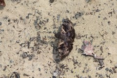 Common Bent-Skipper, Ebrietas anacreon (Birdernaturalist) Tags: matogrosso cristalino hesperiidae pyrginae cristalinojunglelodge richhoyer erynnini