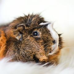 Erpur, guinea pig (astakatrin) Tags: brown white cute male beautiful guinea pig furry background fluffy tortoiseshell agouti erpur