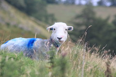 Sheep in Martindale, Ullswater (SKAC32) Tags: england sheep lakedistrict cumbria inquisitive ullswater undergrowth martindale nwengland bluestain
