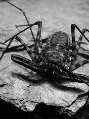 Happy Halloween (mantidboy) Tags: life wild pet macro nature bug insect spider wildlife arachnid fear harry potter scorpion exotic whip diadema factor damon tailless scorp amblypygid tailess amblypygi macrolife notyournormalbug