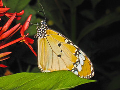 Plain Tiger Butterfly (Rosita So Image) Tags: nature butterfly insect plaintiger
