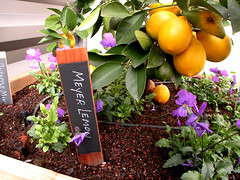 "Chalkboard Plant Tags - lemon • <a style=""font-size:0.8em;"" href=""https://www.flickr.com/photos/87478652@N08/8346682837/"" target=""_blank"">View on Flickr</a>"