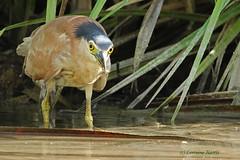 Success (aussiegypsy_travelling) Tags: food bird heron nature eating nt wildlife australian katherine australia meal hunter mealtime success northernterritory nightheron nankeenheron rufousheron