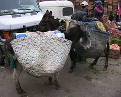 Marokko , Moulay Idris, Eselstudien, 5-42 (roba66) Tags: travel animals tiere reisen market urlaub donkey explore morocco maroc afrika markt marokko esel voyages nordafrika kingdom morocco roba66 pilgerstadt acfrica moulay marokko2012 idris