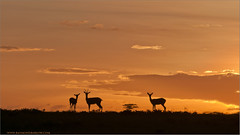 Sunset on the Serengeti (Raymond J Barlow) Tags: africa travel sunset art nature tanzania wildlife adventure 200400vr nikond300 raymondbarlowtours