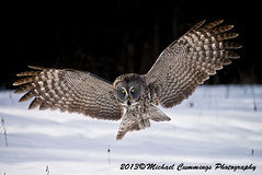 Great Gray Owl (Michael Cummings) Tags: brown ontario canada nature birds animals wildlife ottawa greatgrayowl wildlifephotographer birdpics naturephotography animalphotography wildlifephotography naturepics birdpictures animalpics animalphotograph naturephotograph avianexcellence michaelcummings wildlifepics wildlifephotograph blackbirdphotography greatgrayowlpictures greatgrayowlpics greatgrayowlphotography