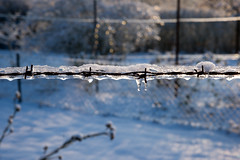 The barbs blunted by the glaze (hogsvilleBrit) Tags: blue sunlight snow ice fence wire rust 6ws bokeh sixwordstory barbedwire icicle barb darmstadt streuobstwiesen