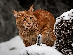 Wildland Coon (magnusl67) Tags: wood winter white snow animals cat sweden mainecoon jmtland frsn stersund canoneos50d magnuslgdberg