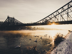 The Swans Are A-Swimming (Philipp Gtze) Tags: morning winter sun snow bird swimming sunrise river golden dresden beak swans elbe blaueswunder brifge loschwitz