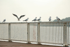 Lined up (paral_lax <)><) Tags: seagulls zeemeeuwen