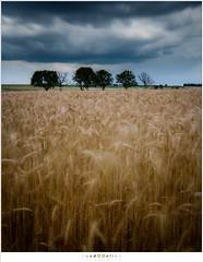 Dancing fields of grain (nandOOnline) Tags: plants storm field clouds vakantie dance movement wind grain wolken windy zomer luxembourg veld luxemburg planten kamperen dansen beweging 2016 koren korenveld mullerthall christnach