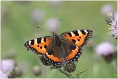Tortoiseshell (jenny*jones) Tags: 3865 smalltortoiseshell aglaisurticae nymphalidae brushfootedbutterfly lepidoptera meadow westyorkshire gtbritain summer2016 canon canon100mm28 macro