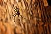 IMG_8482 (keulefm3) Tags: 2008 bali natur urlaub spider spinne