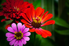 Zinnias (Jenny C.) Tags: zinnia pink red flower nature