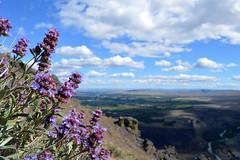 Salvia dorrii on the Ridge (Sotosoroto) Tags: naches washington dayhike hiking waterworkscanyon clemanmtn clemanmountain flowers