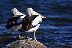 Side by side (Luke6876) Tags: australianpelican pelican bird animal wildlife australianwildlife