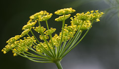 Floral Delicacy (AnyMotion) Tags: fennel fenchel foeniculumvulgare aroma spiice gewrz medicine blossom blte bokeh 2016 floral flowers botanischergarten frankfurt plants anymotion colours colors farben yellow gelb green 7d2 canoneos7dmarkii summer sommer t verano zomer estate ngc npc