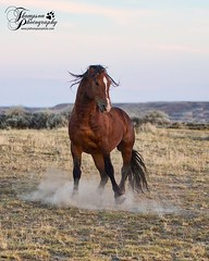 Stallion_Bay (jmthompsonphoto) Tags: mcculloughpeaks wild horses wyoming bureau land management blm hma mustang wildlife