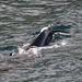 Whales in Bergen harbour_1881
