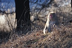 Japanese Macaque (gracejonathan) Tags: bokeh saru wildlife japanesemacaque