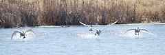 DSC_1410 (KevinYMa) Tags: bird nature tundraswan