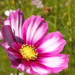 Sonnenanbeterin (kristin.mockenhaupt) Tags: flower plant spring summer frhling sommer wiese lawn meadow pink makro macro nature natur