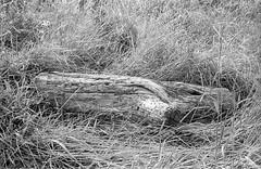 Photo Walk 18/08/16 (chrishoodphoto) Tags: ilford hp5 bw canon eos 30 35mm f2 50mm f18 high contrast nikon coolscan iv ed vuescan lightroom adobe weathered log grass
