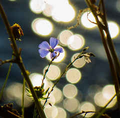 Tiny Blue. (Omygodtom) Tags: water wild wildflower art abstract bokeh blue nature natural nikon d7100 nikkor jewel diamond golden star nikon70300mmvrlens scene scenic senery tags picture