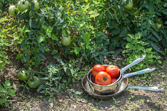 What season is it? (Robin Penrose) Tags: 201608cc farm tomatoes pots pans mmm tasty red lush plants summer season