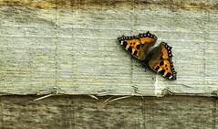 Tortoiseshell wood (Mirrorfinish) Tags: butterfly tortoiseshell insect flyinginsect