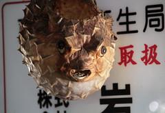 Tsukiji Fish Market | Fugu (Toni Kaarttinen) Tags: japan  japonia    jap japonsko jaapan  japani japon xapn    japn jepang an tseapin giappone  japna japonija  japo  japonska japn hapon  japonya nht bn tokyo tokio japanese tsukijifishmarket tsukiji fish market fishmarket fugu blowfish