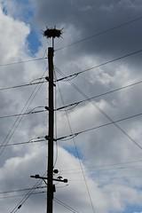 Bird Among Wires (armct) Tags: silhouette easternosprey osprey pandionhaliaetuscristatus tweedriver estuary nest nidus artificialsite tumbulgum newsouthwales river shoreline bank australia power pole electricity insulator wildlife threatened raptor seabird