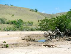 Close encounter with the Komodo dragon (the largest lizard on Earth), Komodo island, East Nusa Tenggara, Indonesia (Unesco world heritage site) (Maria_Globetrotter) Tags: 2016 fujifilm indonesia mariaglobetrotter dscf4185 landscape komodo komododragon komodomonitor lizard monitorlizard rinca