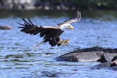 Get a grip (jrlarson67) Tags: bald eagle talons flight hunting raptor birdofprey attack bird mannifrank lake manitoba canada nikon d500