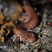 "Spring Salamander (Gyrinophilus porphyriticus) • <a style=""font-size:0.8em;"" href=""http://www.flickr.com/photos/39798370@N00/8090335194/"" target=""_blank"">View on Flickr</a>"