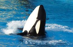 Ikaika (EchoBeluga) Tags: ocean california one san diego killer whale orca seaworld shamu