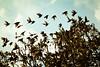 Departure (ms holmes) Tags: sky tree birds flying wings many flock himmel stare vögel viele baum starlings fliegen flügel abflug schwarm canoneos1000d