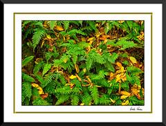 _RGP9900FFM (Carlos Roedan) Tags: fall leaves ferns rickettsglenstatepark